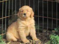 We have one gorgeous female golden retriever puppy