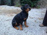 AKC registered, 3 months old, calm, affectionate, crate