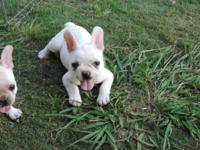AKC registered french bulldog young puppies for sale. 2