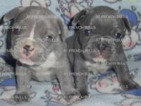 AKC Registered French Bulldog Puppy DOB: July 22, 2013