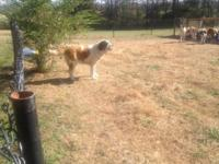I have a lovely 5 year old Saint Bernard female. She is
