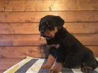 We have for sale quality Akc registered German