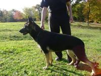 We have for sale a 8 months old German Shepherd female.