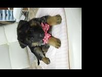 I have a female German Shepherd pup. Champion