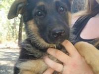 9 week old AKC Registered German Shepherd puppies. Have