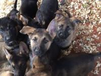 We have 8 attractive healthy German Guard puppies born