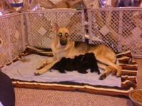 I have 2 AKC registered German shepherd puppies.