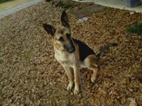 AKC German Shepherd Puppies: 9 months old. These pups