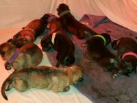 AKC GERMAN SHEPHERD PUPPIES AVAILABLE FOR NEW HOME Sire