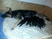 AKC Registered German Shepherd Puppies M-F Reserve your