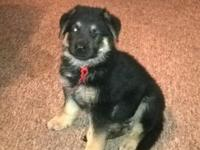 Lovely German Shepherd puppies for sale. I have 3