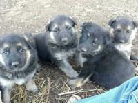 Great Easter present! We have 4 male and 2 female AKC