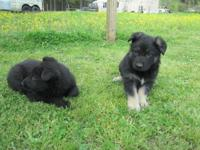 CUTE GERMAN SHEPHERD PUPPYS, 1 BLACK & TAN, 2 SOLID