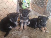 I have 5 beautiful AKC registered 2 male and 3 female