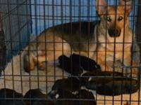 For Sale. A.K.C. German Shepherd puppies. Sire: Boomer