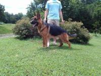 German Show line German Shepherd puppies due 4/22 to