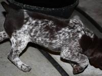 AKC Registered German Shorthaired Pointers - - Parents