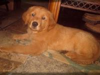 Beautiful Golden Retriever puppy, Male. Has received