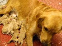AKC Registered Golden Retriever puppies. Born September