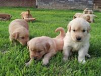 Eleven AKC signed up Golden Retriever Puppies. 4 males