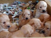 We have one male golden retriever puppy for sale! AKC