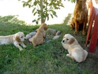 AKC signed up Golden Retriever Puppies, I have paper's