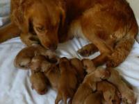 AKC Registered Golden Retriever puppies. On April