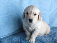 AKC Registered Golden Retriever Puppies Born August 16,