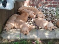 We have eight AKC Registered Golden Retriever pups for