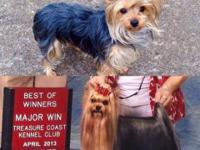 """Chubba"" AKC registered Yorkshire Terrier born"