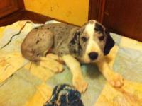 AKC registered Great Dane Puppies 25% Euro, 8 weeks old