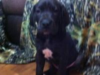 AKC 25% Euro, Great Dane puppies, ready to go January