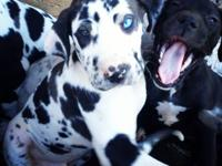 We have AKC Registered Great Dane Puppies for Sale. We