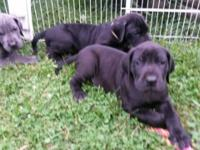 I have 3 black wonderful dane young puppies readily