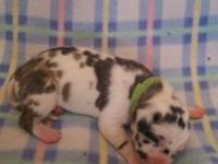 AKC registered great Dane puppies for sale, one year