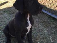 AKC registered Black female Great Dane puppy for sale,