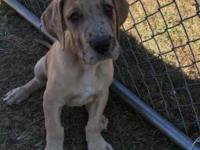 AKC registered Fawn Merle male Great Dane puppy for