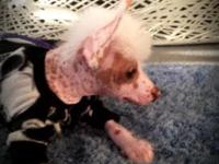 For sale 11 week old AKC true hairless Chinese Crested