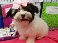 Animal Type: Dogs Breed: HAVANESE ** Puppies Available