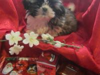 AKC registed tiny little Imperial Shih Tzu baby boy