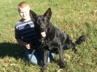 Angus is a 1 years of age jet black AKC registered