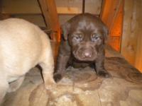Our chocolate and yellow Lab puppies will be ready for