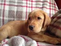 5 AKC registered Labrador Retriever puppies, 4 yellow