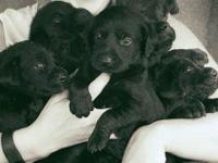AKC Reg. Labordor Retriever Puppies, Black, Male and