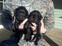 Just in time for Christmas!! AKC registered lab puppies