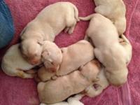 Beautiful AKC Registered Labrador pups. Yellow boys