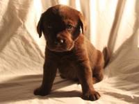 * Labrador Retriever Puppies ARE HERE !!! * Moms name
