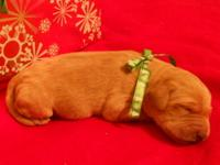 """Samson is an adorable red, AKC registered Labradoodle."