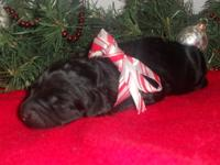 Trudy is a precious little black, female Labradoodle.