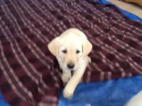 AKC registered unlimited Labrador puppies litter of 8 3